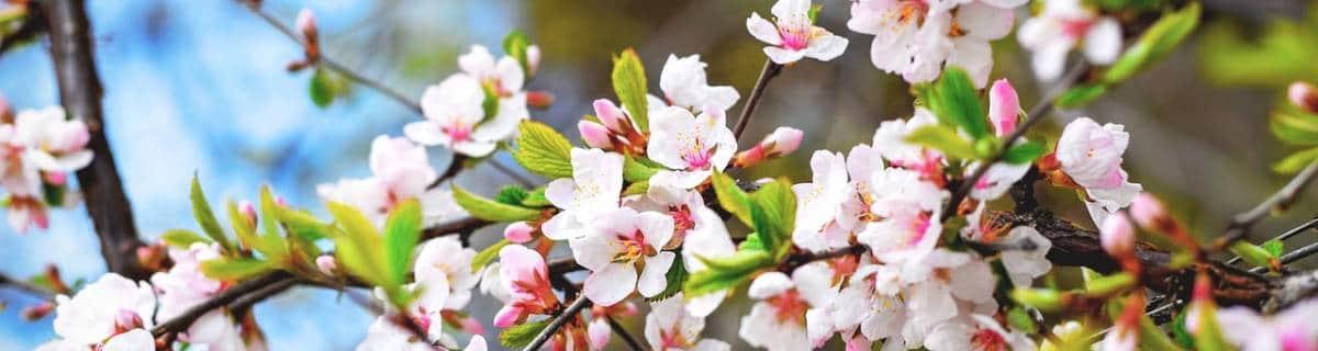 Kyoto Cherry Blossom Day Tour