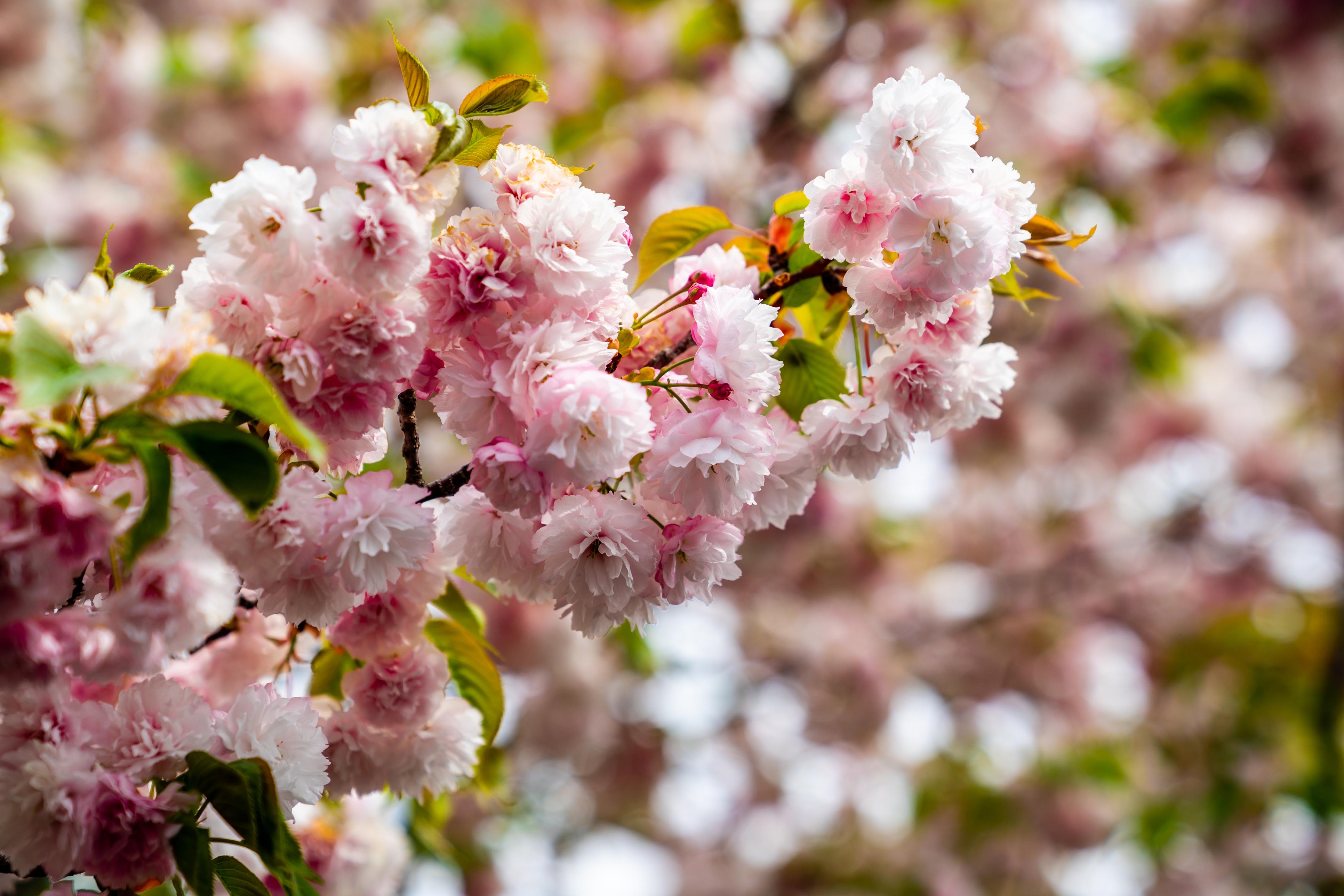 Osaka Cherry Blossoms 8 Cherry Picked Sakura Spots Japan Cheapo