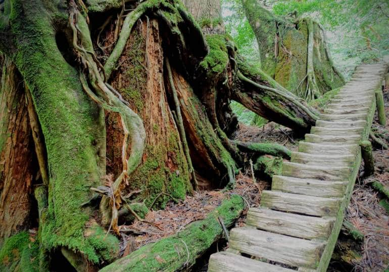 Yakushima Jomon Sugi Trail Tree