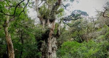 Yakushima - Jomonsugi Tree