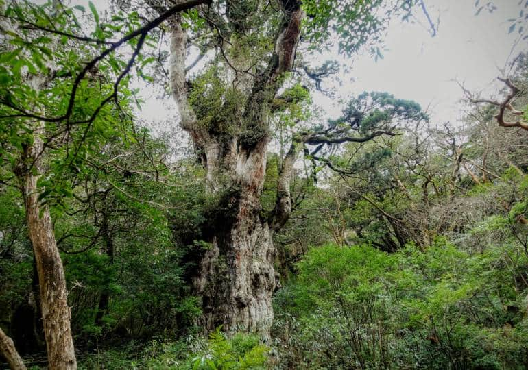Yakushima - Jomon Sugi Tree