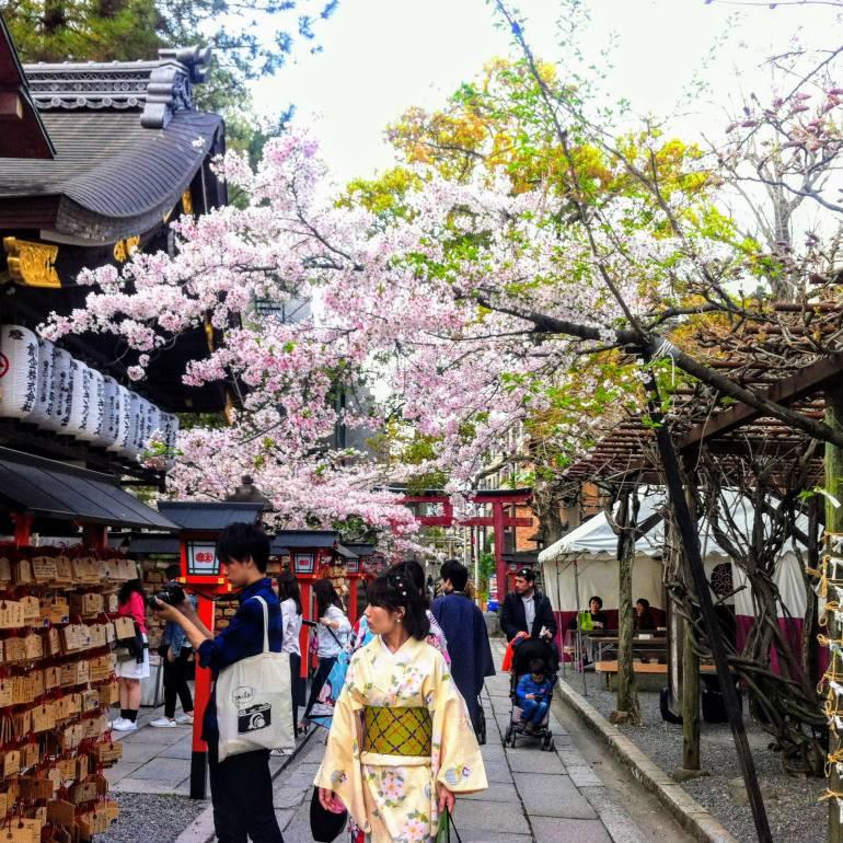 kyoto cherry blossoms