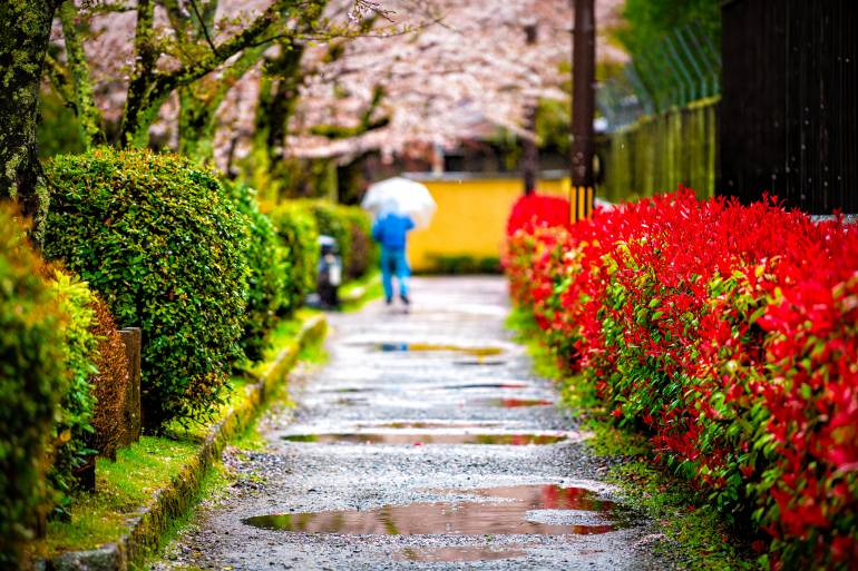 rainy spring day in Kyoto with flower and cherry blossoms