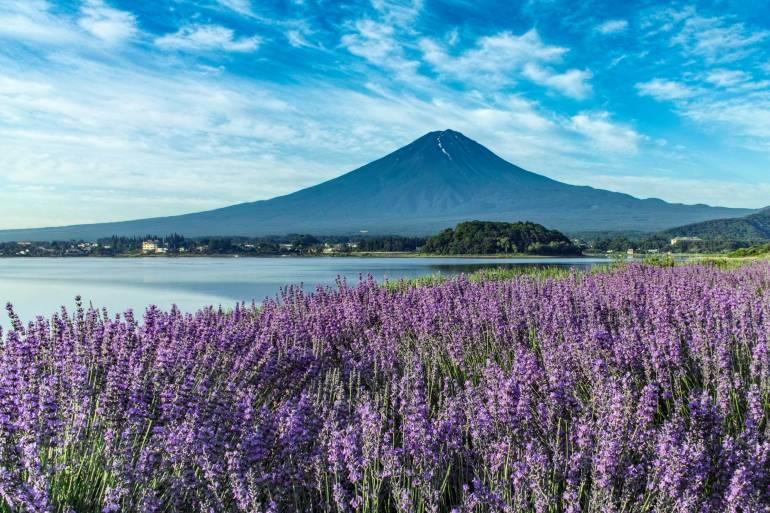 Lavender at Lake Kawaguchi and Mt. Fuji