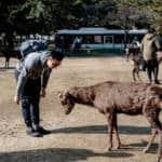 Nara Bowing Deer