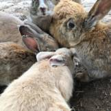 rabbit island japan