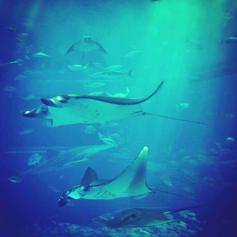 manta ray tank at Okinawa aquarium