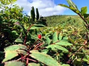 Mountain shrub and flower