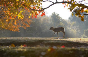 Nara Park autumn morning with deer