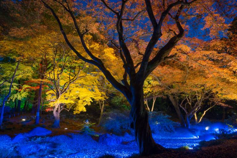 night-view of Maple in Rikugien Garden Tokyo