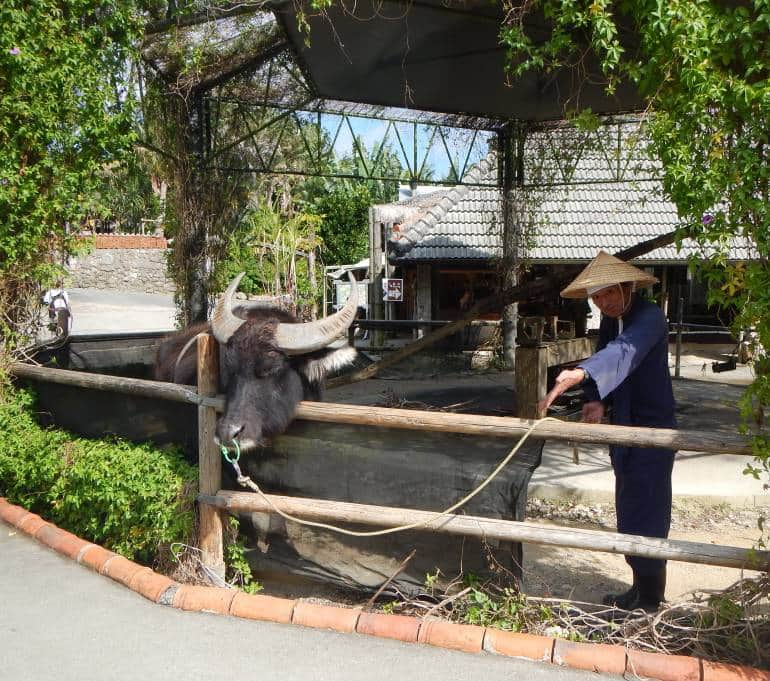 Water buffalo at Ryukyu Mura