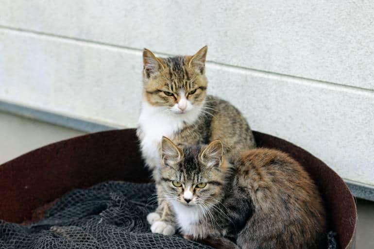 Tashirojima kittens and Fishing Net