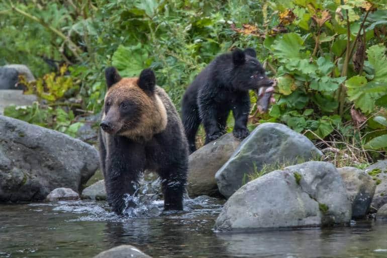Hokkaido's Ussuri brown bears standing in a river