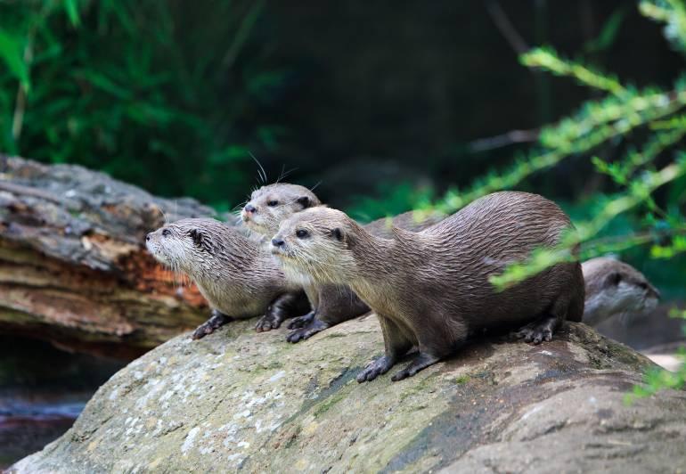 otters in London