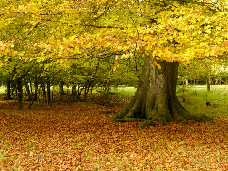 ashridge woodland in autumn