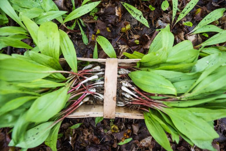 Wild Garlic the Shed