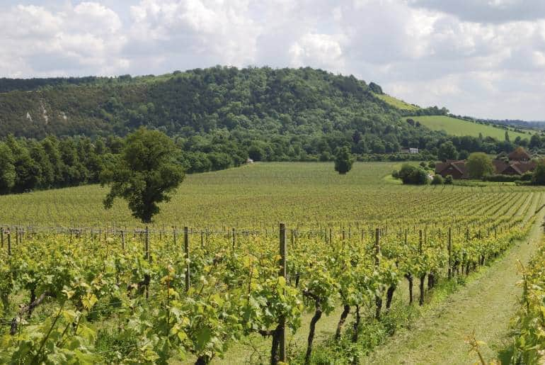 Vineyard with green hills in the background