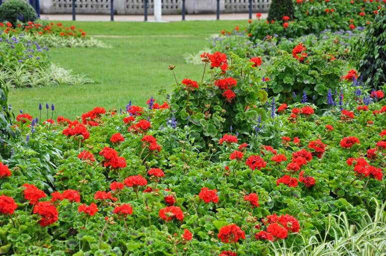 Red blooms in the garden at Buckingham Palace.