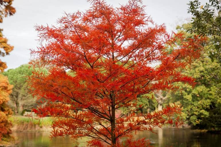 Autumn scene with red maple with pond in background