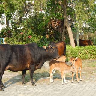 Mui Wo: Where Wild Cows and Buffalo Rule the Road