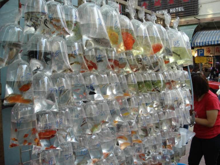 kowloon markets - goldfish